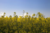 Yellow flowers with blue sky — Stock Photo