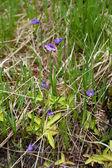 Common Butterwort — Stock Photo