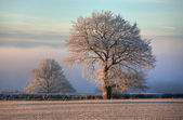 Oak with hoar frost, Cotswolds — Stock Photo