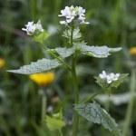 Hedge Garlic, Alliaria petiolata — Stock Photo #35472945