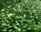 Ramsons, Allium ursinum — Stock Photo
