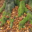 Mossy beech roots — Foto de Stock