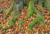 Mossy beech roots — Stock Photo