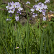 Lady's Smock, Cardamine pratensis — Stock Photo