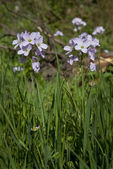 Lady's Smock, Cardamine pratensis — Photo