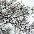 Stock Photo: Tree oak snow