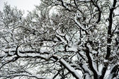 Tree oak snow — Stock Photo