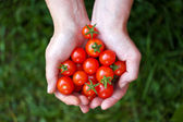 Woman holding tomatoes in hands — Stock Photo