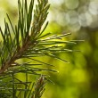Pine branch with young runaways — Stock Photo #46640109
