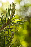Pine branch with young runaways — Stock Photo