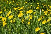 Dandelions. background — Stok fotoğraf