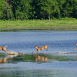 Three Startled Deer Running and Leaping Through the Water — Stock Photo