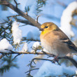 Goldfinch Perched in Snow — Stock Photo #35294279