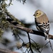 AmericGoldfinch Perched in Winter — Stock Photo #35296199