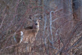 Deer in Heavy Brush — Stock Photo