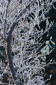 Frost Covered Branches — Stock Photo