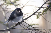 Dark-eyed Junco Perched in Snow — Stock Photo