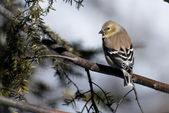 American Goldfinch Perched in Winter — Stock Photo