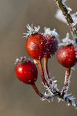 Frost Covered Berries — Stock Photo