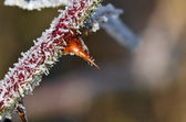 Frost Covered Thorn — Stock Photo