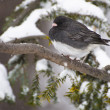 Dark-eyed Junco Perched in Snow — Stock Photo #35347201