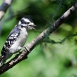 Stock Photo: Downy Woodpecker in Mid-Call