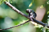 Hummingbird Preening Itself — Stock Photo