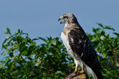 Red-Tailed Hawk Profile — Stock Photo