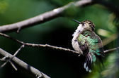 Ruffled Ruby-Throated Hummingbird Perched in a Tree — Stock Photo