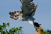 Red-Tailed Hawk Taking to Flight With Captured Prey — 图库照片