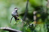 Ruby-Throated Hummingbird Perched on an Evergreen Branch — Stock Photo