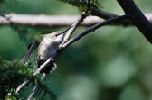 Aggressive Looking Hummingbird — Stock Photo