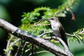 Ruby - boğazlı sinek kuşu ağaca tünemiş — Stok fotoğraf