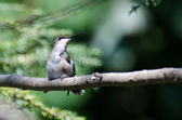 Tubby Ruby-Throated Hummingbird Perched in a Tree — Foto Stock