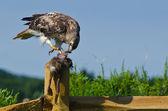 Red - tailed hawk eten gevangen konijn — Stockfoto