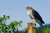 Red-Tailed Hawk With Captured Prey — Stock Photo
