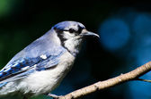 Blue Jay Profile — Stock Photo