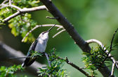 Ruby-Throated Hummingbird Perched in a Tree Looking for Trouble — Stock Photo