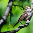 Stock Photo: Chipping Sparrow Pereched in Tree