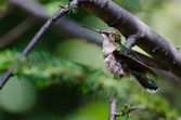 Ruby-Throated Hummingbird About to Take Flight — Stock Photo