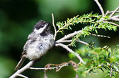 Young Black-Capped Chickadee Perched in a Tree — Stockfoto