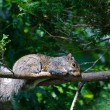 Squirrel's Nap Time — Stock Photo #35552553
