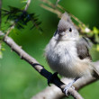 Stock Photo: Young Tufted Titmouse All Fluffed Up