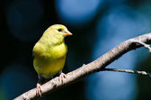 Female American Goldfinch Against A Blue Background — Стоковое фото