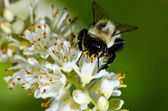 Bee Gathering Pollen from a White Flower — Стоковое фото