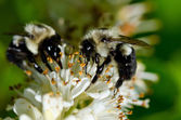 Two Bees Gathering Pollen from a White Flower — Foto de Stock