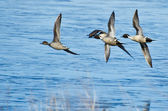 Northern Pintails Flying Over Blue Water — Stock Photo