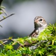 Stock Photo: Young Chipping Sparrow Perched on Branch