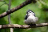 Young White-Breasted Nuthatch Perched on a Branch — Stock Photo