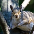 Stock Photo: Startled Squirrel Making Eye Contact